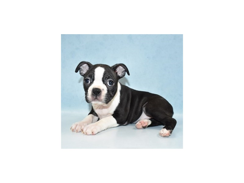 Boston Terrier-Female-Black Brindle and White-2713722-Petland Dalton