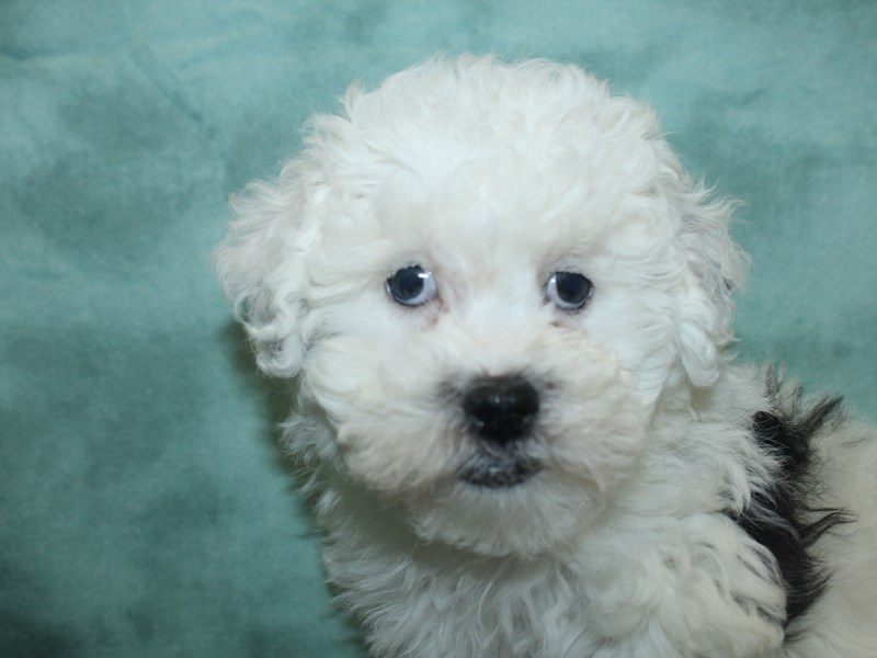 Bichapoo-DOG-Female-BLK WHITE-2713731-Petland Dalton