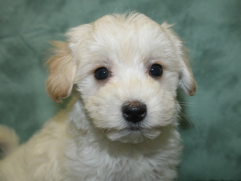 Morkie-DOG-Male-CREAM-2713294-Petland Dalton