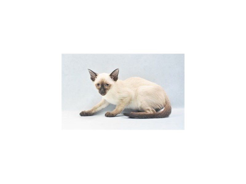 Siamese-Female-Seal Point-2680664-Petland Dalton
