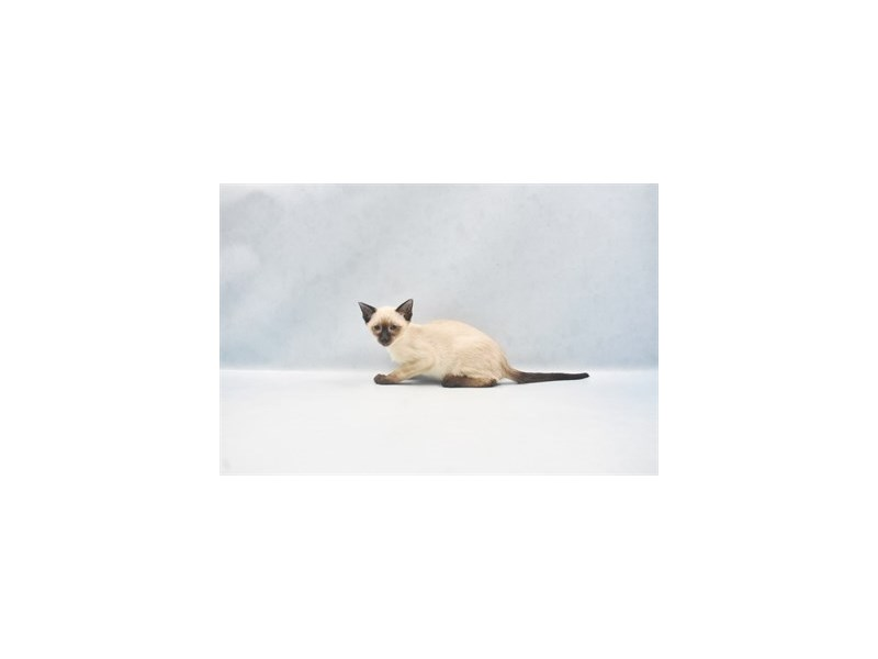 Siamese-Male-Seal Point-2680667-Petland Dalton