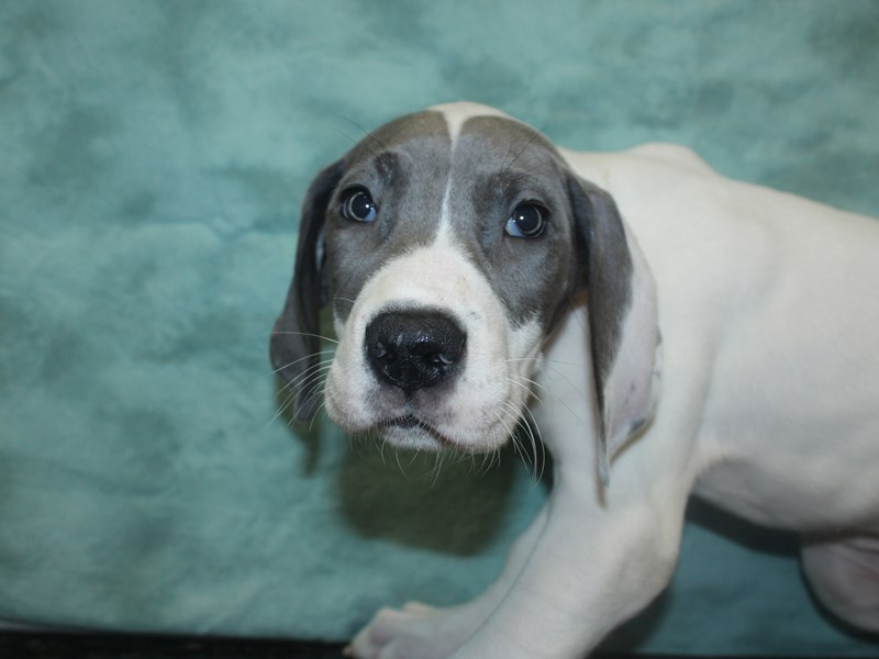 Great Dane-Female-Blue-2705678-Petland Dalton