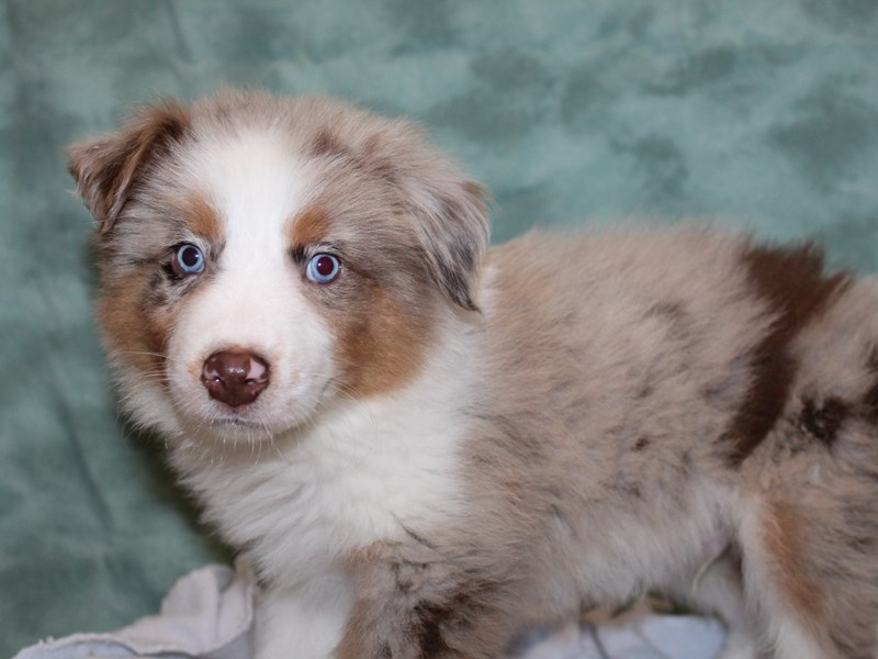 Australian Shepherd-DOG-Male-Red Merle-2706696-Petland Dalton