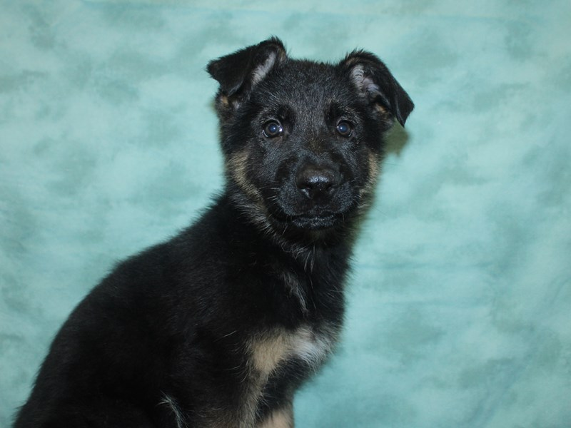 German Shepherd Dog-Male-Black / Tan-2718674-Petland Dalton
