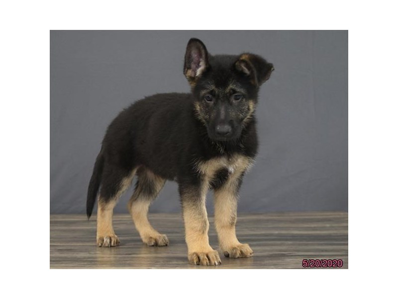 German Shepherd Dog-DOG-Male-Black / Tan-2721658-Petland Dalton
