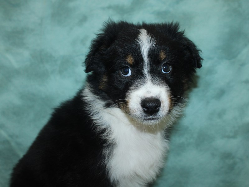Australian Shepherd-DOG-Male-Black-2721462-Petland Dalton