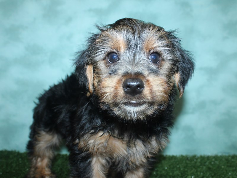 Yorkshire Terrier-Male-BLK TAN-2721186-Petland Dalton