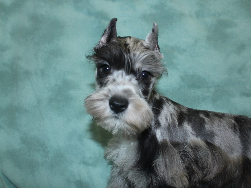 Miniature Schnauzer-DOG-Male-BLUE  MERLE-2721056-Petland Dalton