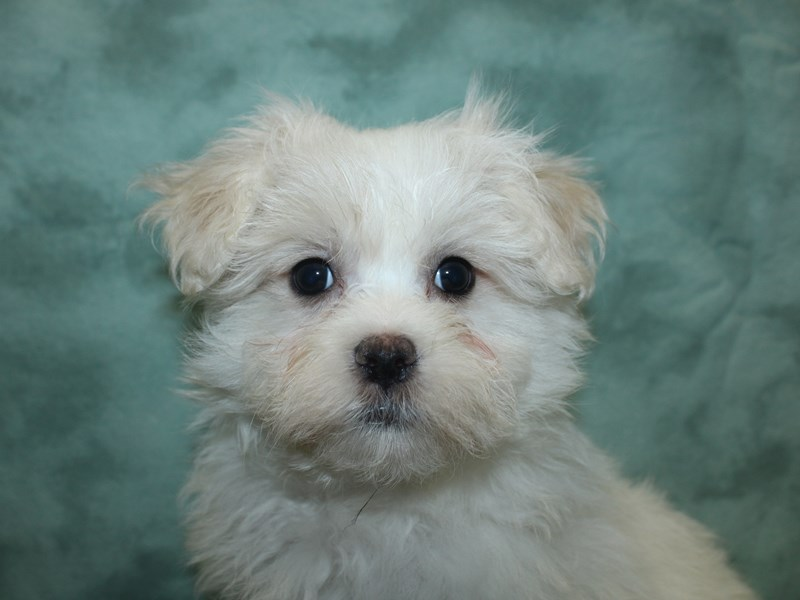 Maltese-Male-WHITE-2721198-Petland Dalton