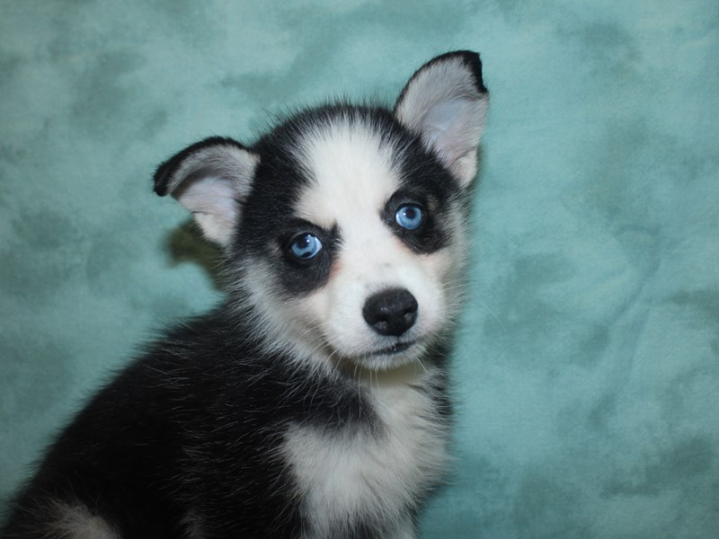 Pomsky-DOG-Female-blk white-2721004-Petland Dalton