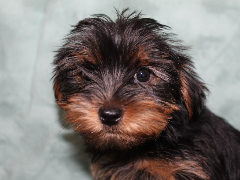 Yorkshire Terrier-Female-Black Tan-2721653-Petland Dalton