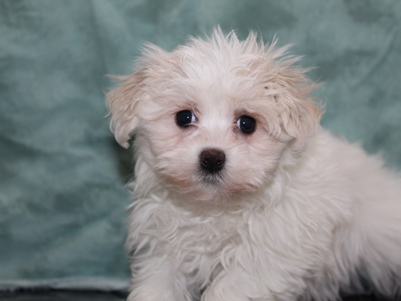 Maltese-Female-WHITE-2721202-Petland Dalton