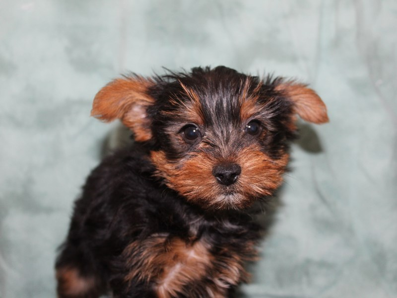 Yorkshire Terrier-Male-Black Tan-2721257-Petland Dalton