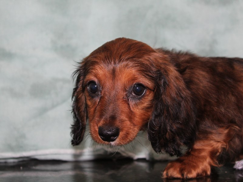 Dachshund-Female-RED-2721026-Petland Dalton