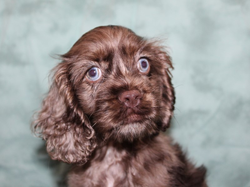 Cocker Spaniel-DOG-Male-choc. merle-2720998-Petland Dalton