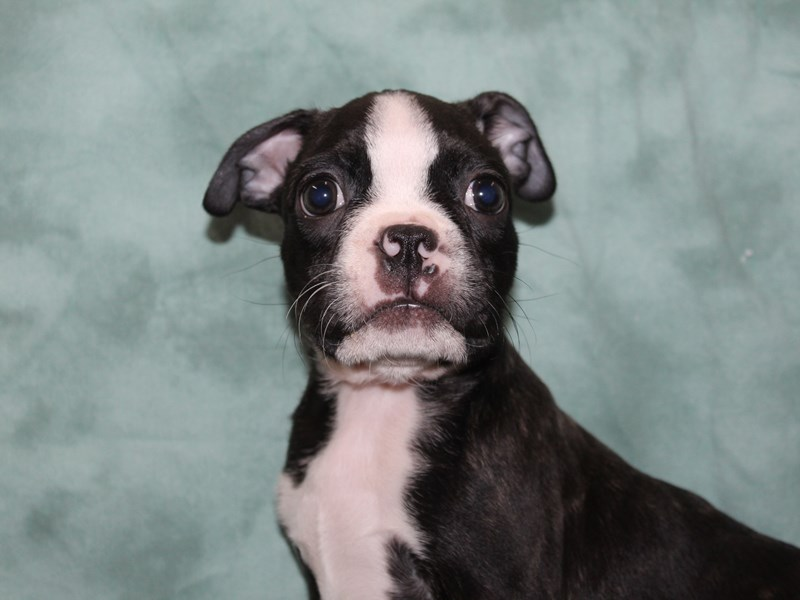 Boston Terrier-Male-brindle white-2721682-Petland Dalton