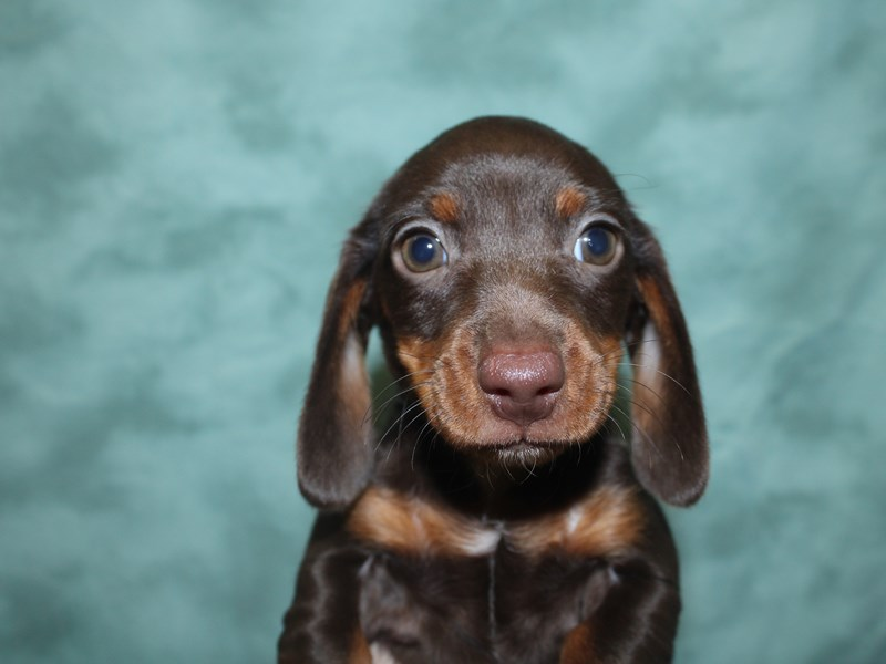 Dachshund-Male-Chocolate / Tan-2726126-Petland Dalton