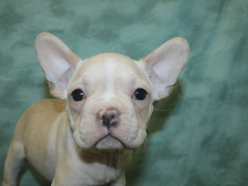 French Bulldog-Male-Cream-2726132-Petland Dalton