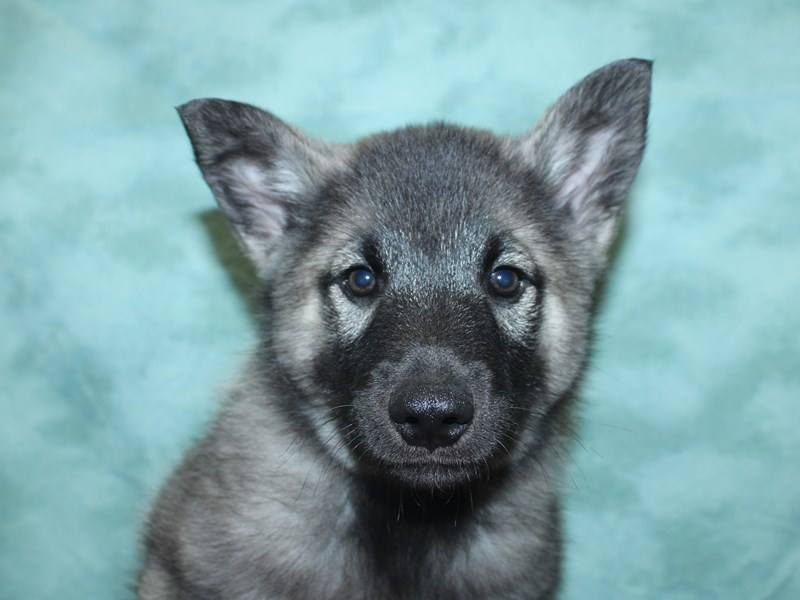 Norwegian Elkhound-Male-Silver Gray / Black-2726131-Petland Dalton