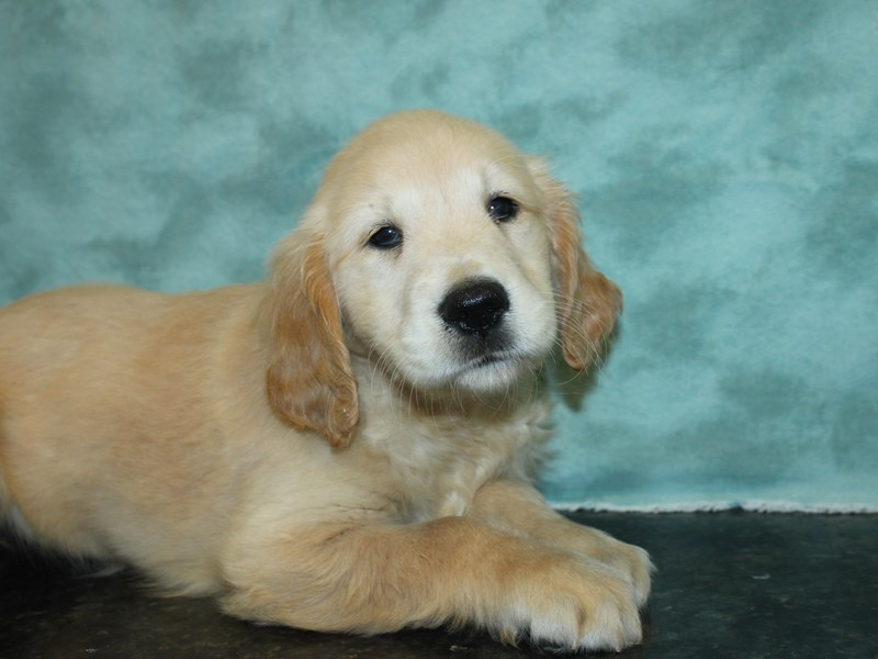 Golden Retriever-Female-Golden-2727051-Petland Dalton