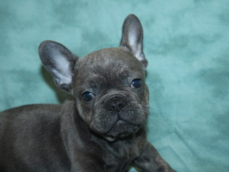 French Bulldog-DOG-Male-Blue-2727291-Petland Dalton