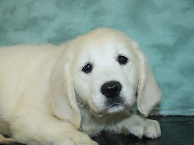 Golden Retriever-Female-Light Golden-2727025-Petland Dalton