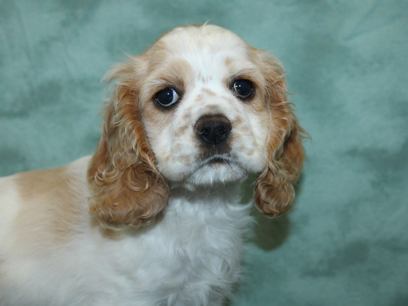 Cocker Spaniel-Female-Buff / White-2732563-Petland Dalton