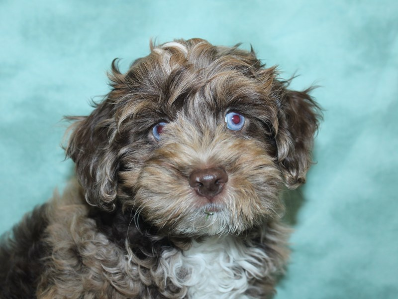 Cockapoo-Male-Chocolate Roan-2732566-Petland Dalton