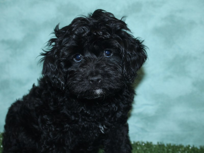 Cockapoo-DOG-Female-Black-2732560-Petland Dalton
