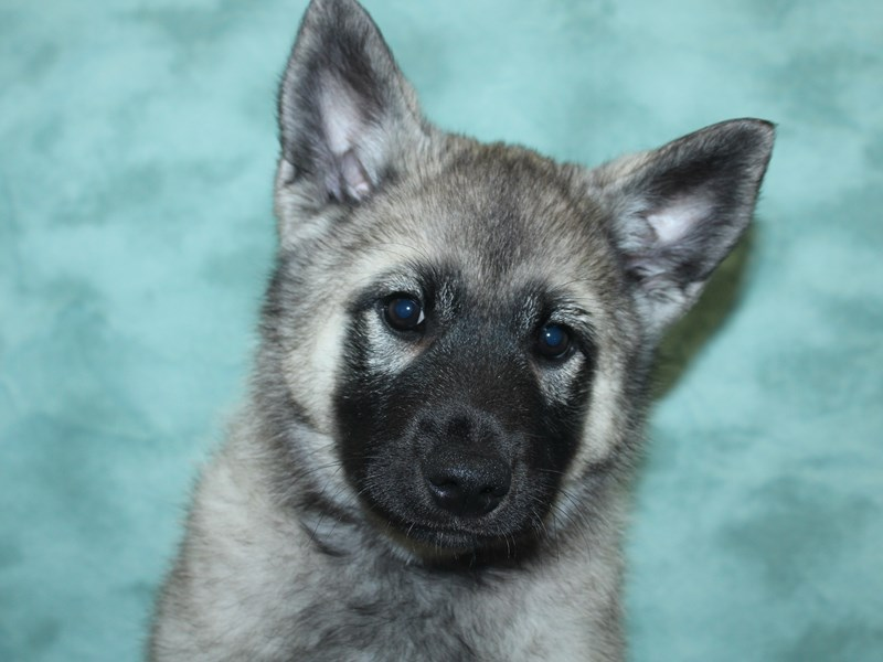 Norwegian Elkhound-Male-Silver Gray / Black-2732554-Petland Dalton