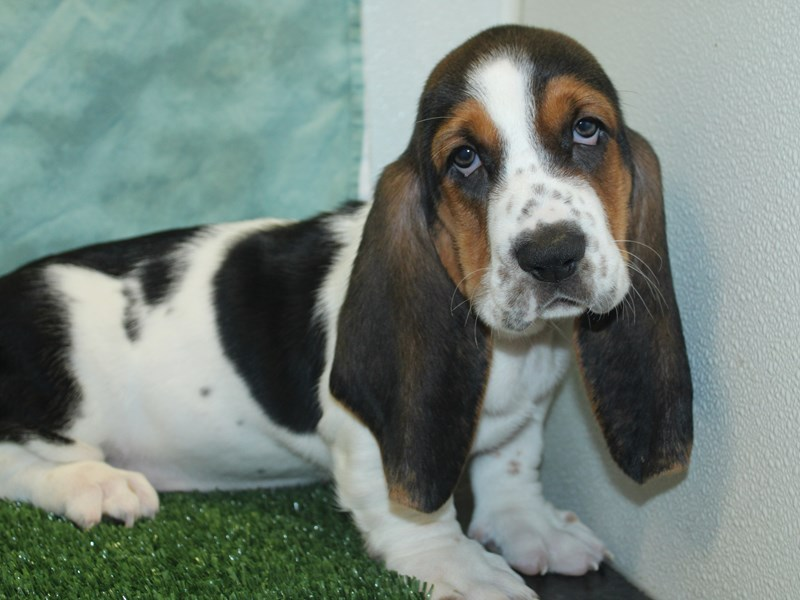 Basset Hound-Male-Black White and Tan-2743052-Petland Dalton