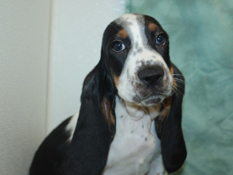 Basset Hound-Male-Black White and Tan-2743054-Petland Dalton