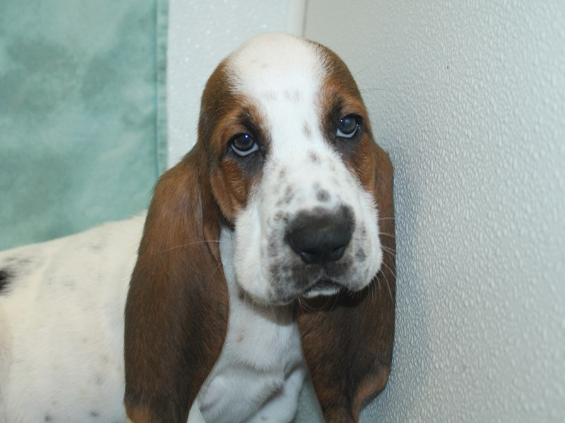 Basset Hound-DOG-Male-White Black and Brown-2743053-Petland Dalton