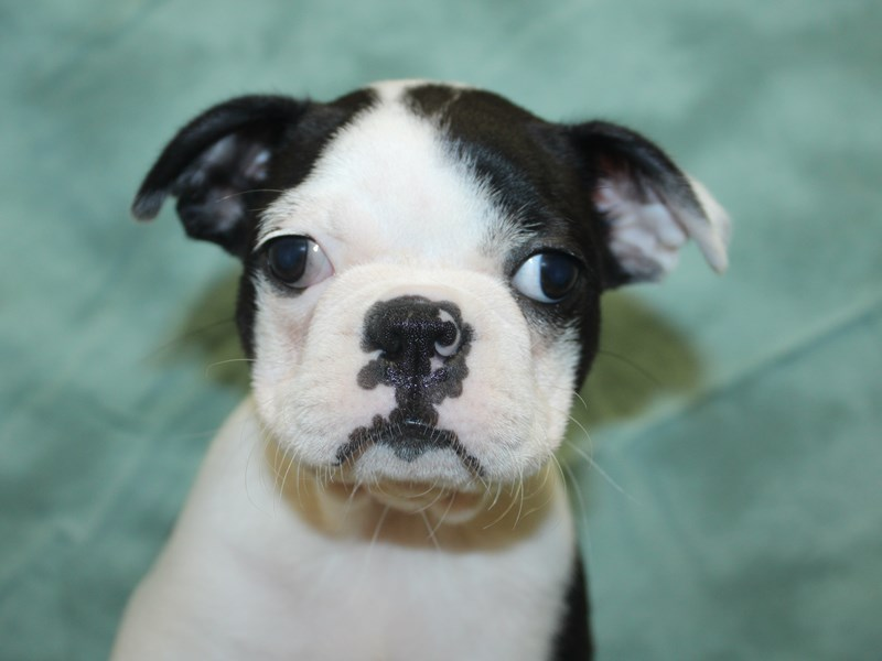 Boston Terrier-DOG-Female-Black and White-2743118-Petland Dalton