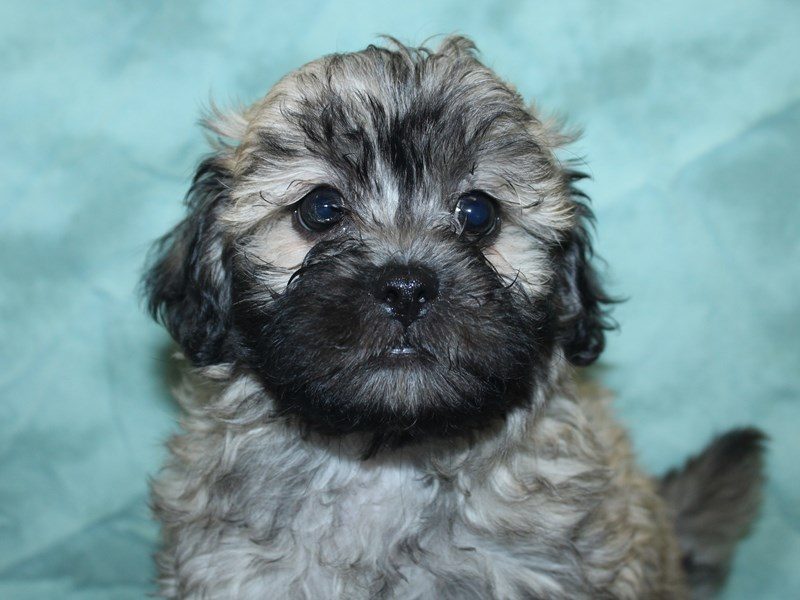 Teddy Bear-Male-BROWN WHITE-2741375-Petland Dalton