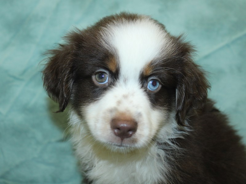 Miniature Australian Shepherd-DOG-Male-RED TRI-2741276-Petland Dalton