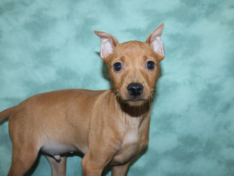 Miniature Pinscher-Male-Red-2721436-Petland Dalton