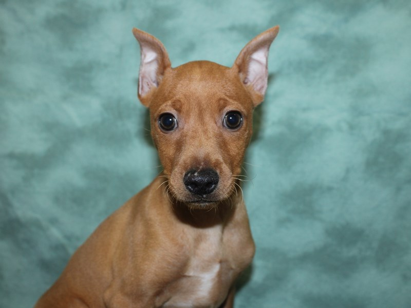 Miniature Pinscher-Male-Red-2721435-Petland Dalton