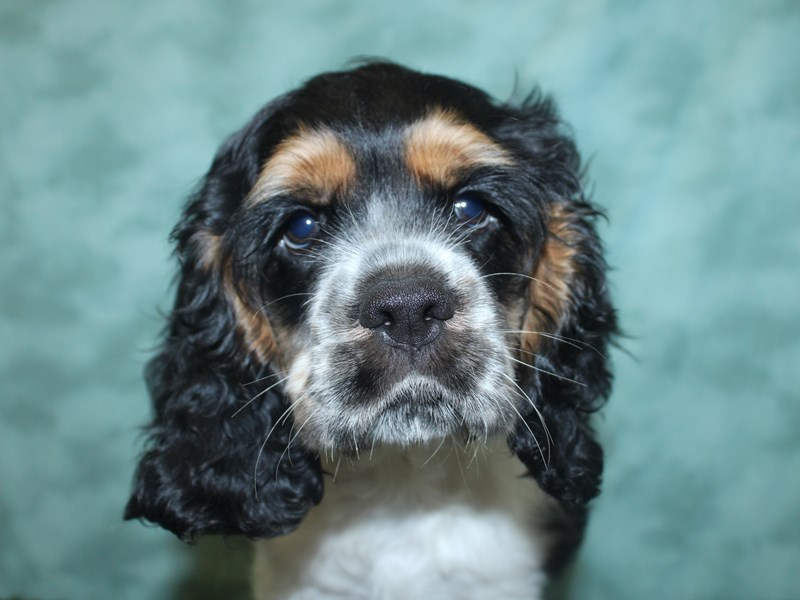 Cocker Spaniel-Male-Black / White-2726135-Petland Dalton