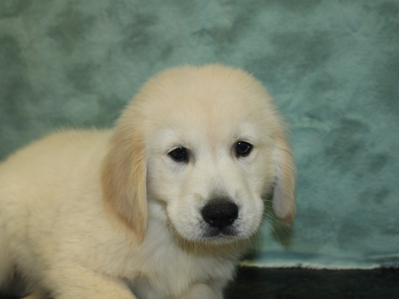 Golden Retriever-Male-Golden-2727014-Petland Dalton