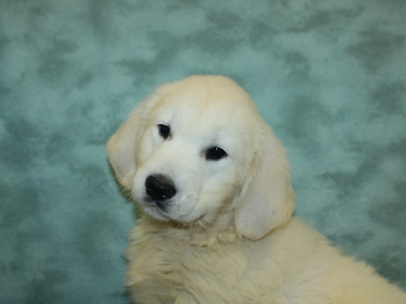 Golden Retriever-Male-Light Golden-2727024-Petland Dalton