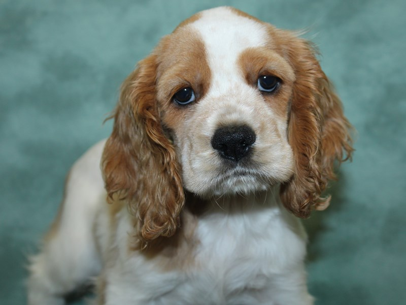 Cocker Spaniel-Female-Buff and White-2735912-Petland Dalton