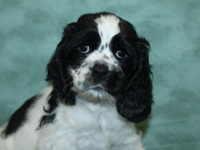 Cocker Spaniel-Female-Black / White-2732550-Petland Dalton