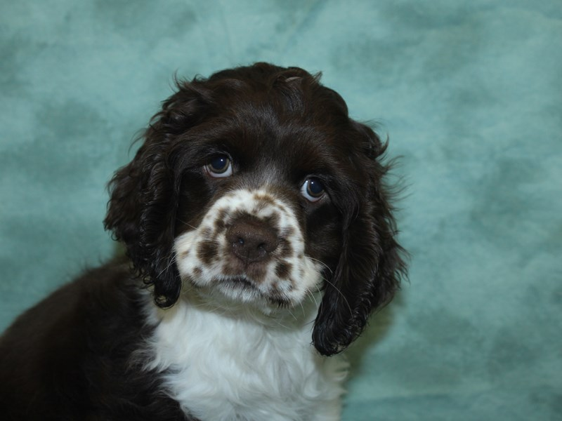 Cocker Spaniel-Female-Chocolate / White-2732553-Petland Dalton