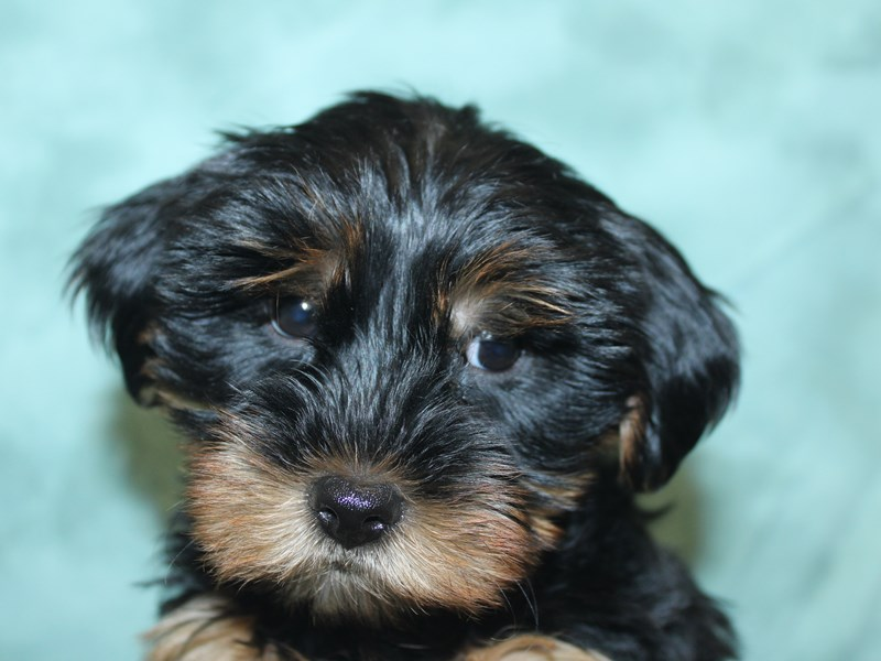Yorkshire Terrier-Male-Blk-Tan-2741672-Petland Dalton