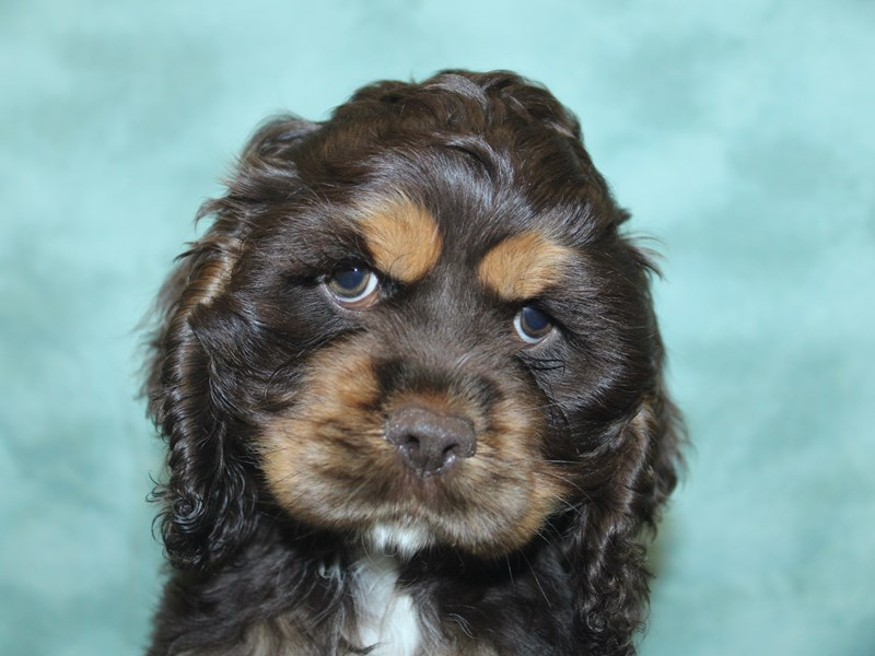 Cocker Spaniel-Male-Chocolate / Tan-2746862-Petland Dalton