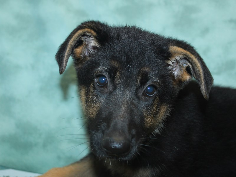 German Shepherd Dog-Female-Black / Tan-2746841-Petland Dalton