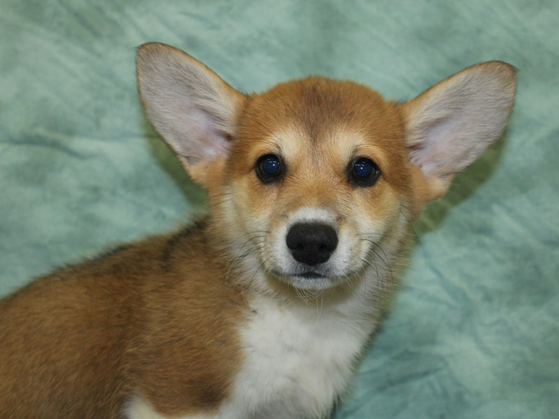Pembroke Welsh Corgi-Female-Red / White-2754262-Petland Dalton