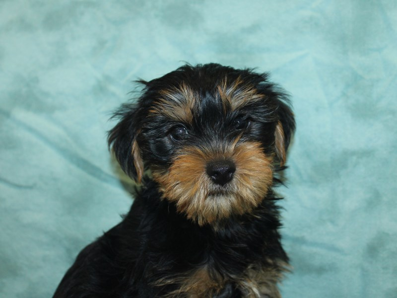 Yorkshire Terrier-Male-Black Tan-2756053-Petland Dalton