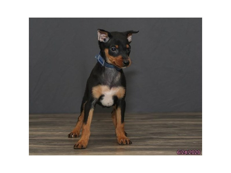 Miniature Pinscher-Male-Black / Tan-2763444-Petland Dalton